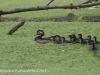 PPL Wetlands Wood duck 5-31-2015 6 (5 of 5).jpg