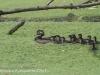 PPL Wetlands Wood duck 5-31-2015 8 (1 of 1).jpg