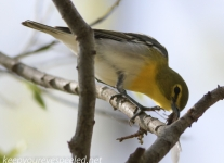 PPL Wetlands yellow throated vireo -1