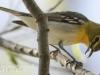 PPL Wetlands yellow throated vireo -11