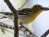 PPL Wetlands yellow throated vireo -13