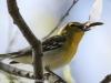 PPL Wetlands yellow throated vireo -14