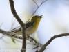 PPL Wetlands yellow throated vireo -16