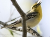 PPL Wetlands yellow throated vireo -17