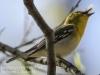 PPL Wetlands yellow throated vireo -18