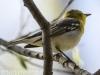 PPL Wetlands yellow throated vireo -19
