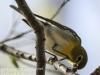 PPL Wetlands yellow throated vireo -5