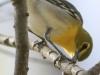 PPL Wetlands yellow throated vireo -6