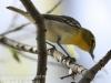PPL Wetlands yellow throated vireo -9