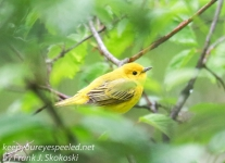yellow warblers -1