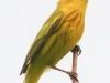 PPL wetlands yellow warbler (1 of 1).jpg