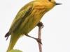 PPL wetlands yellow warbler 2 (1 of 1).jpg