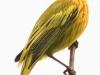 PPL wetlands yellow warbler 3 (1 of 1).jpg