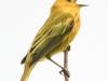 PPL wetlands yellow warbler 4 (1 of 1).jpg