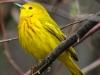 Yellow warbler -10