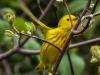 Yellow warbler -3