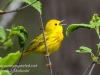 Yellow warbler -6