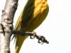 yellow warbler    2  PPL Wetlands  (1 of 1).jpg