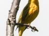 yellow warbler    3 PPL Wetlands  (1 of 1).jpg