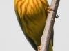 yellow warbler  4  PPL Wetlands  (1 of 1).jpg