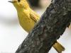 yellow warbler  6 PPL Wetlands  (1 of 1).jpg