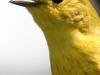 yellow warbler  7 PPL Wetlands  (1 of 1).jpg