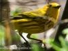 yellow warbler  8 PPL Wetlands  (1 of 1).jpg