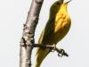 yellow warbler     PPL Wetlands  (1 of 1).jpg
